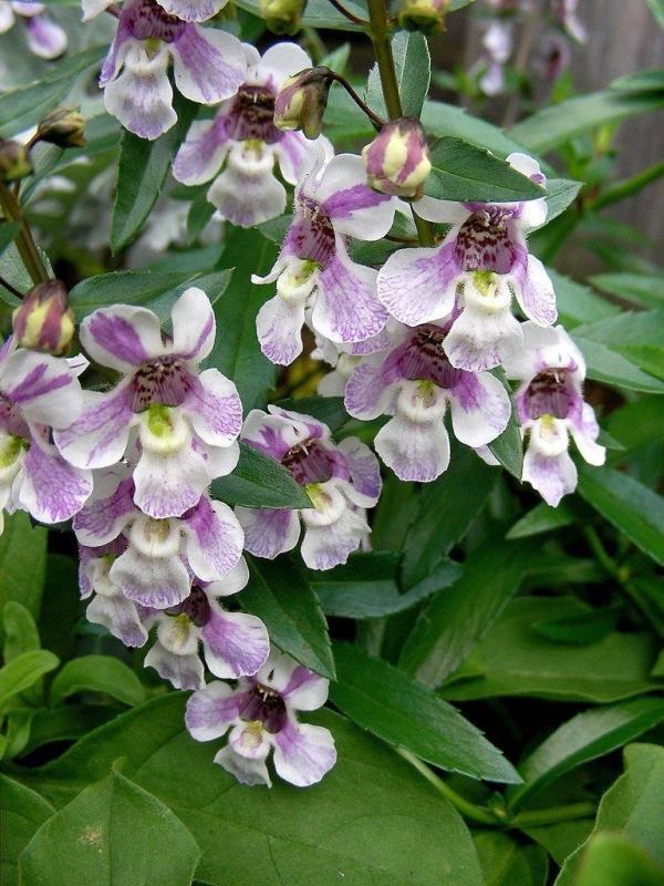 angélonia plante bicolore