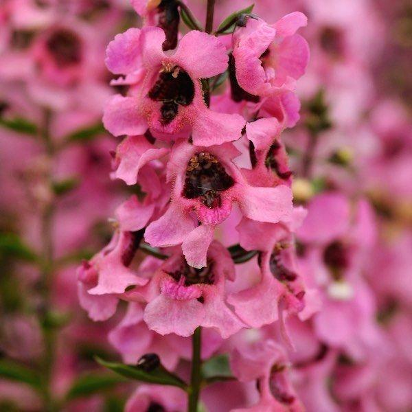 angélonia rose plante annuelle