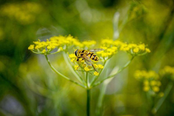 bienfaits du fenouil fleurs jaunes avec une abeille