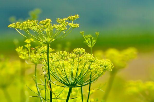 bienfaits du fenouil plante aux fleurs jaunes