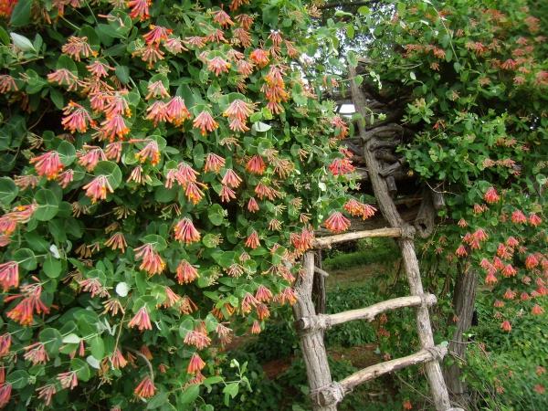 chèvrefeuille persistant sur grillage vieille clôture en bois