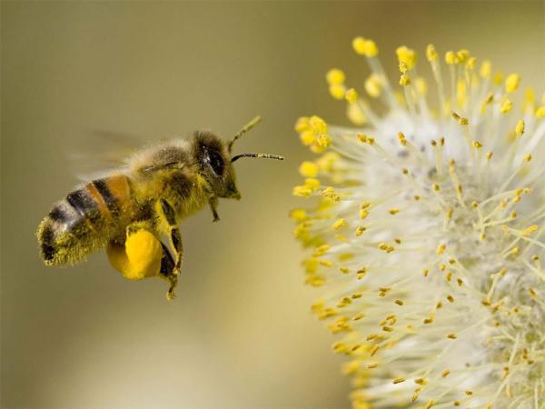 collection de pollen d'abeille