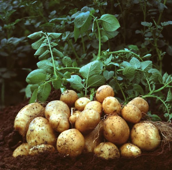 conseils contre le mildiou pour une récolte saine