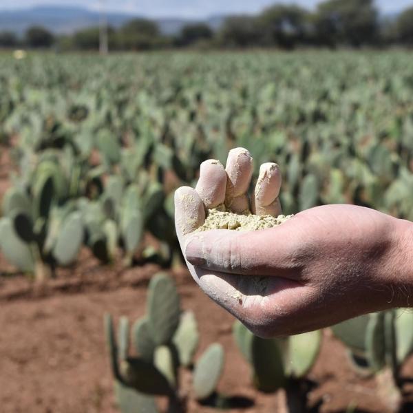 cuir artificiel de cactus sélectionner et sécher