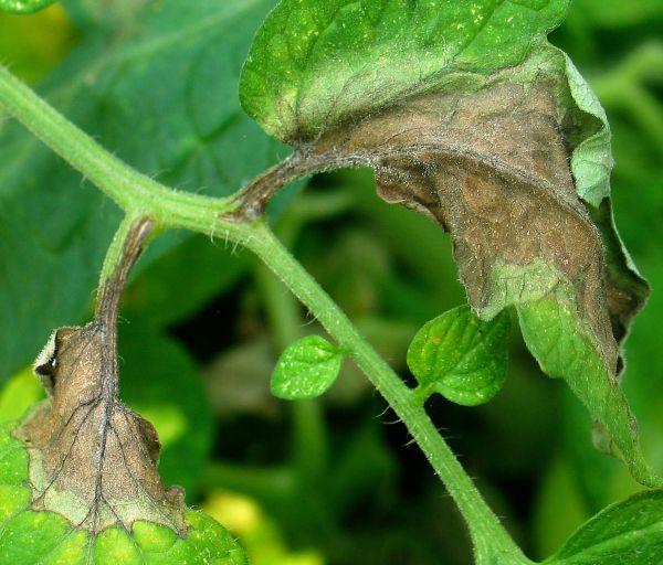 dégâts sur les tomates par mildiou