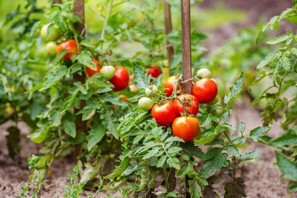 espaces entre les plantes au jardin pour éviter le mildiou