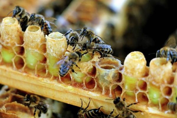 gelée royale abeilles ouvrières