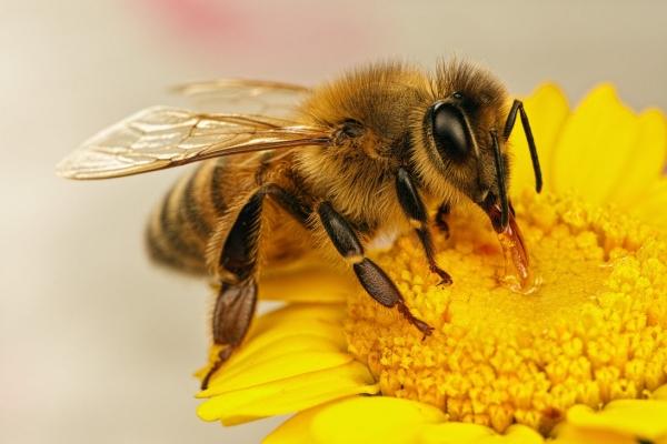 gelée royale production abeilles