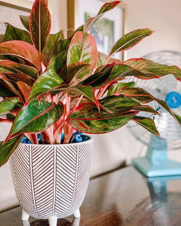 grandes plantes d'intérieur éternellement verte