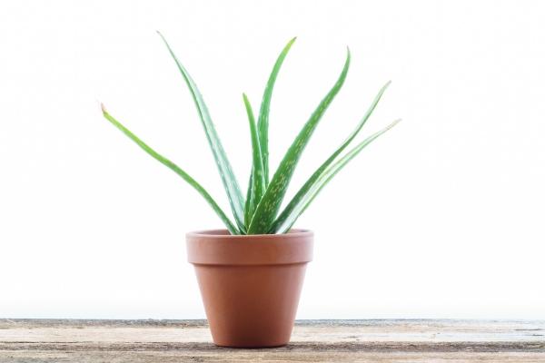 grandes plantes d'intérieur aloé véra