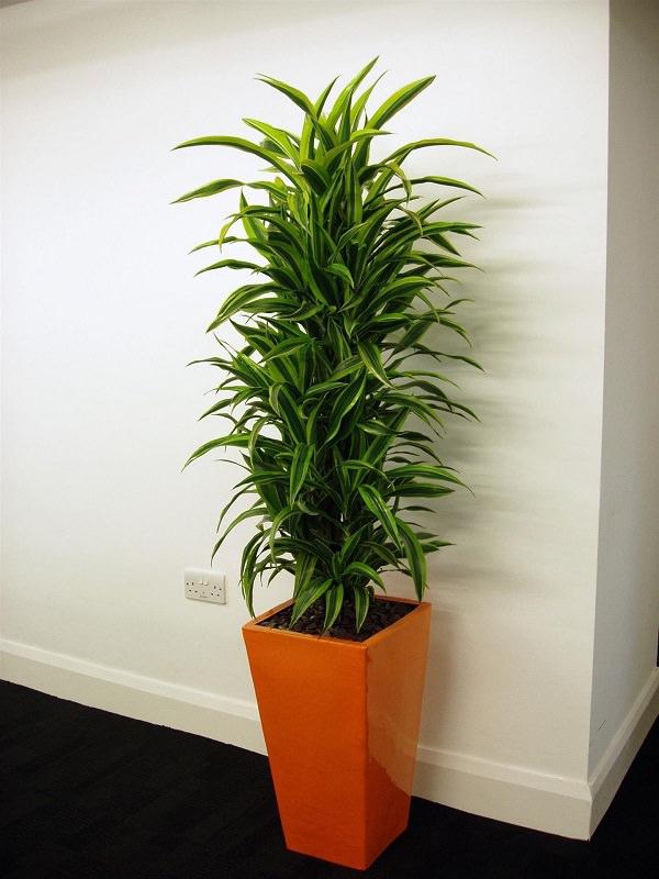 grandes plantes d'intérieur aux feuilles colorées