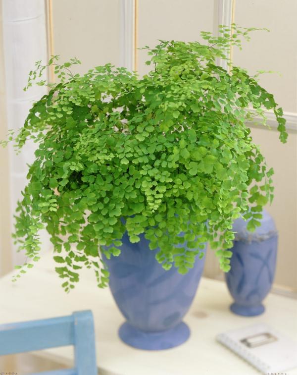 grandes plantes d'intérieur comme couvre-sol et en conteneur