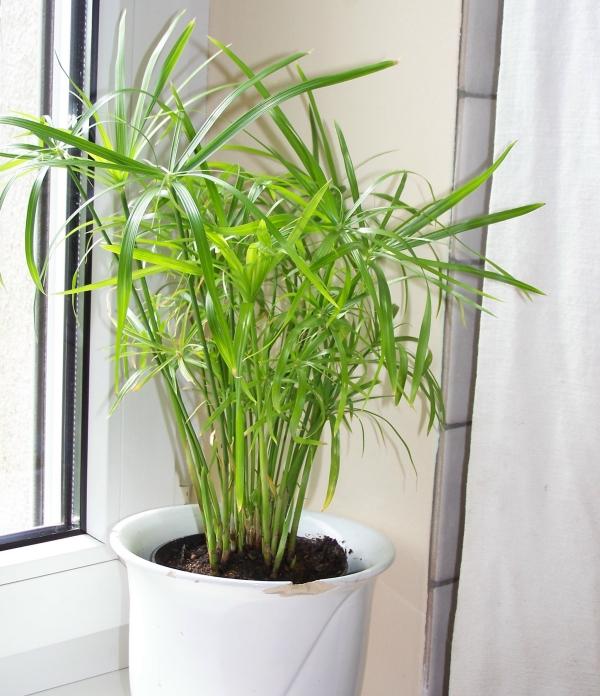 grandes plantes d'intérieur conditions de faible luminosité