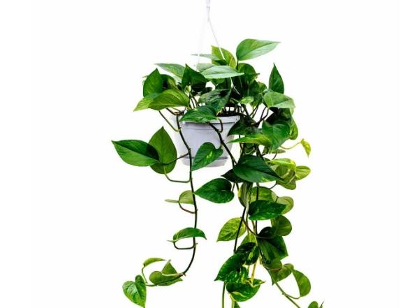 grandes plantes d'intérieur dans les pays asiatiques