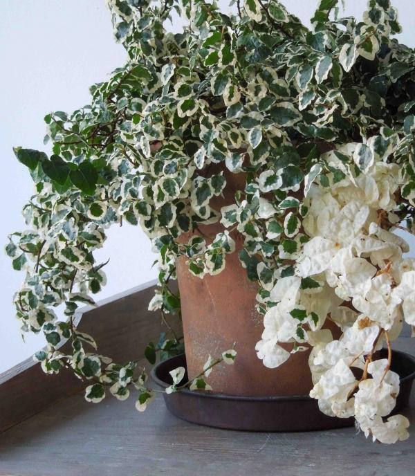 grandes plantes d'intérieur figue rampante