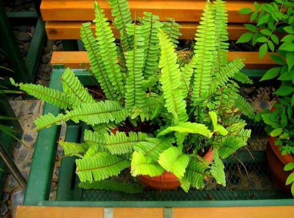 grandes plantes d'intérieur forme ondulée