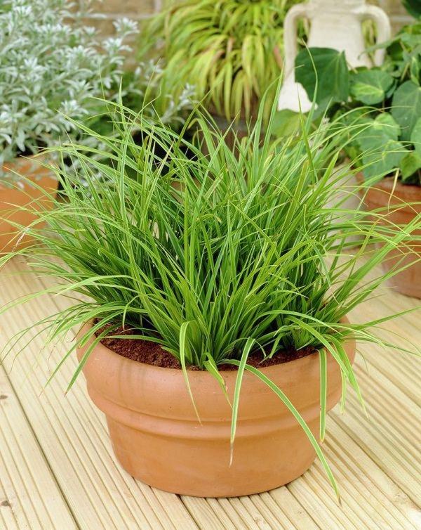 grandes plantes d'intérieur herbe japonaise