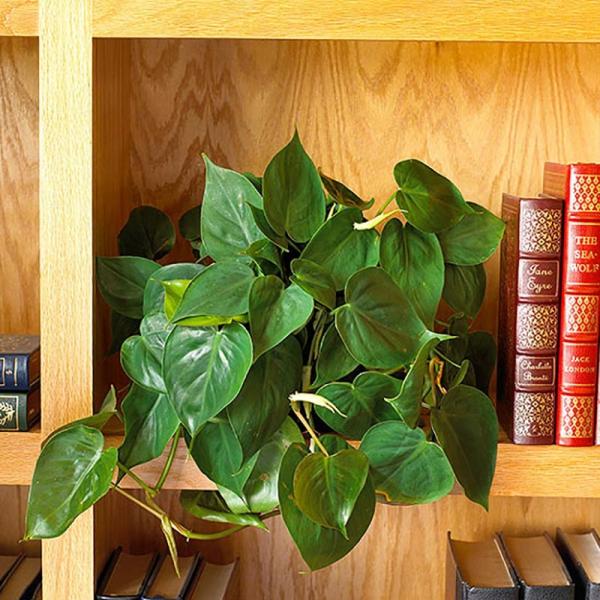 grandes plantes d'intérieur philodendron pour le bureau