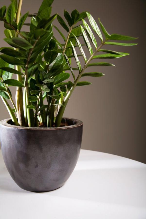 grandes plantes d'intérieur plante ZZ