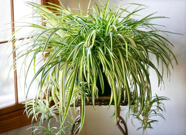 grandes plantes d'intérieur plante araignée