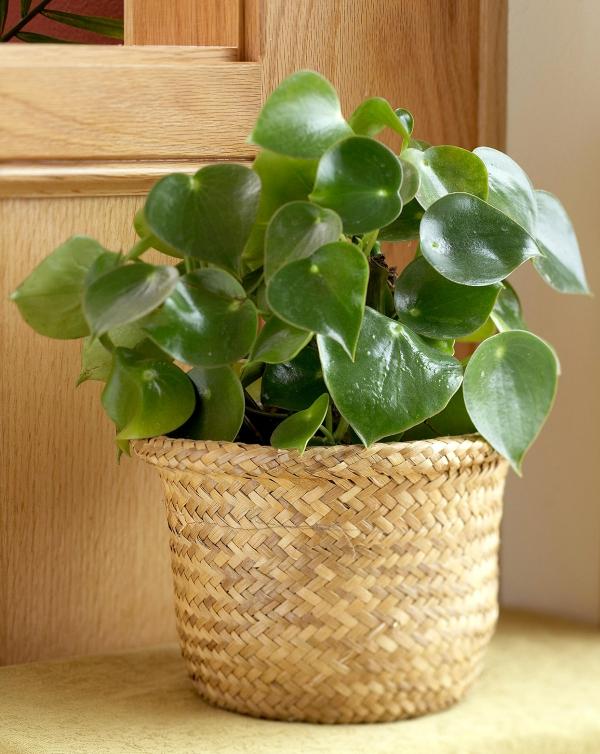 grandes plantes d'intérieur plante d'hévéa