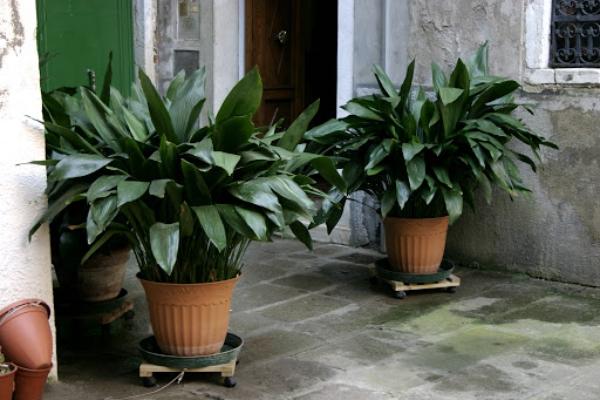 grandes plantes d'intérieur plante de fer