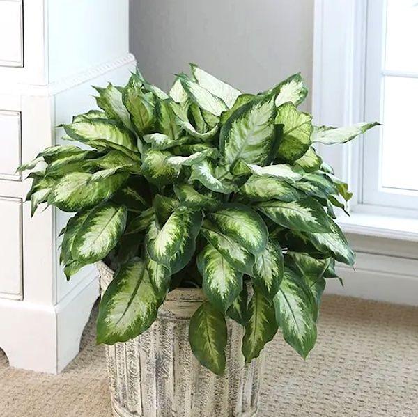 grandes plantes d'intérieur plante d'intérieur toxique