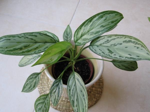grandes plantes d'intérieur reine d'argent