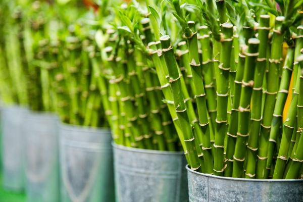 grandes plantes d'intérieur selon Feng Shui