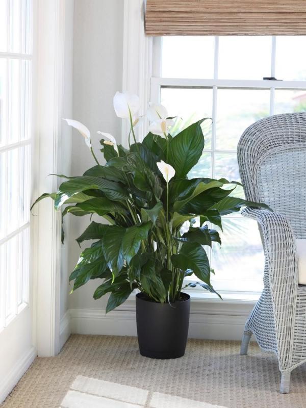 grandes plantes d'intérieur un lys de paix