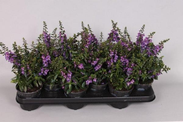 jeunes plants angélonia en pots