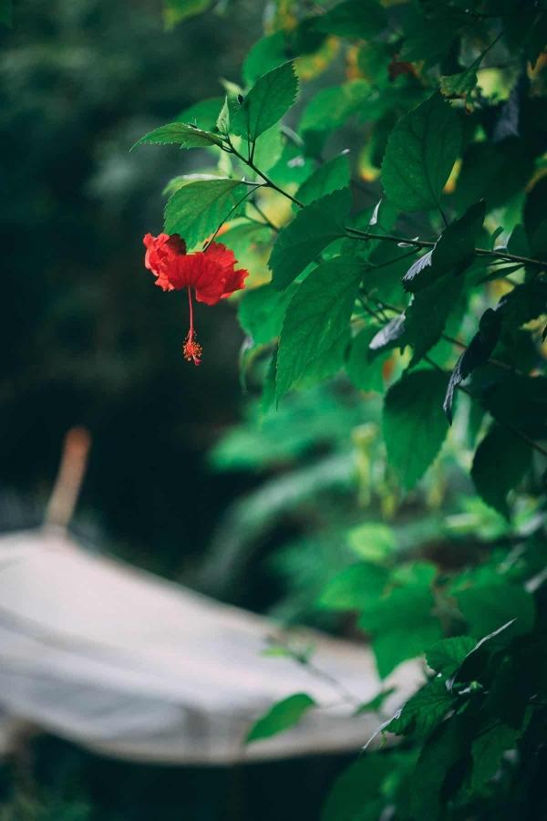 jus de bissap plante d'hibiscus