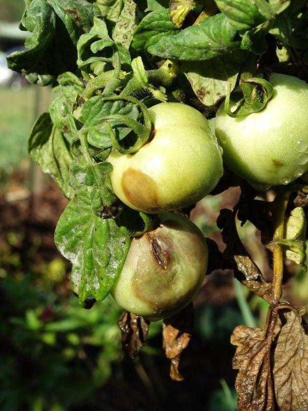 mildiou maladie sur les tomates