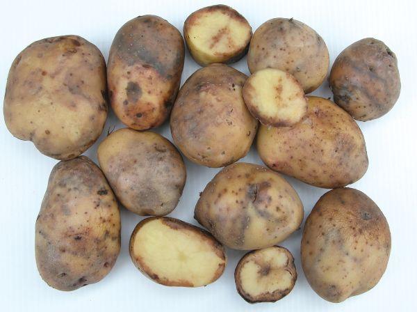 mildiou sur les pommes de terre