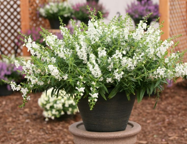 plante angélonia blanche en pot