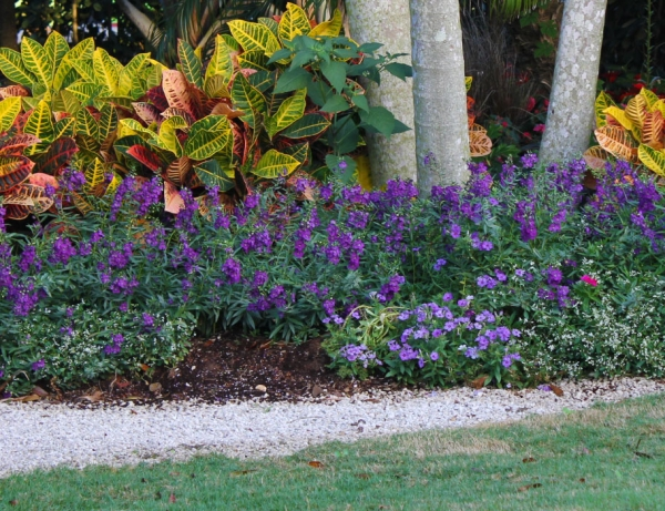 plante angélonia parterre de fleurs