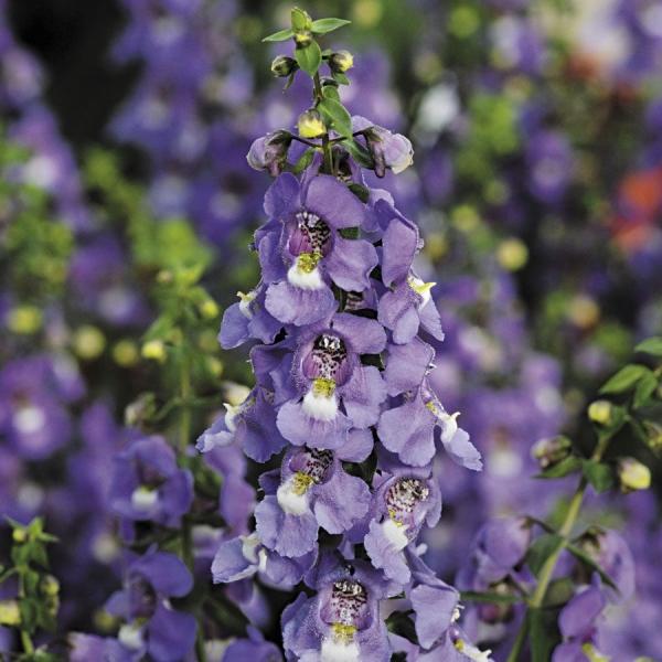 plante angélonia variété Blue Serena