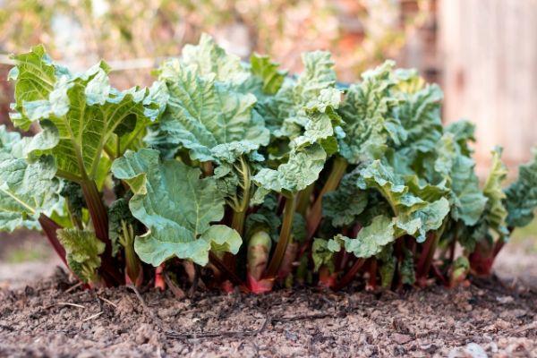 plante rhubarbe coneils à suivre planter de la rhubarbe