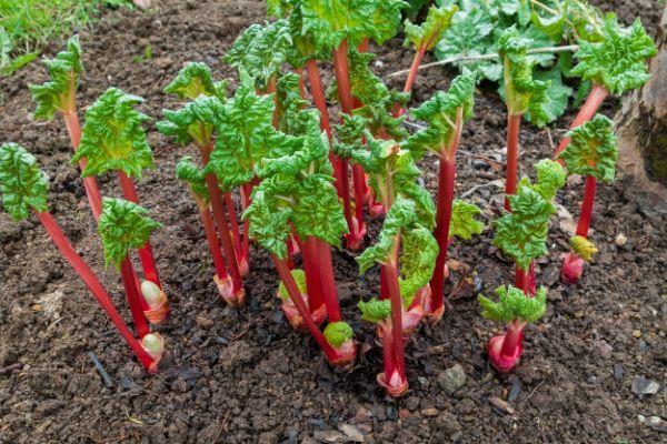planter de la rhubarbe comment réussir