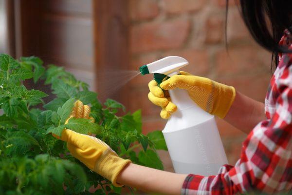 pulveriser les tomates contre le mildiou
