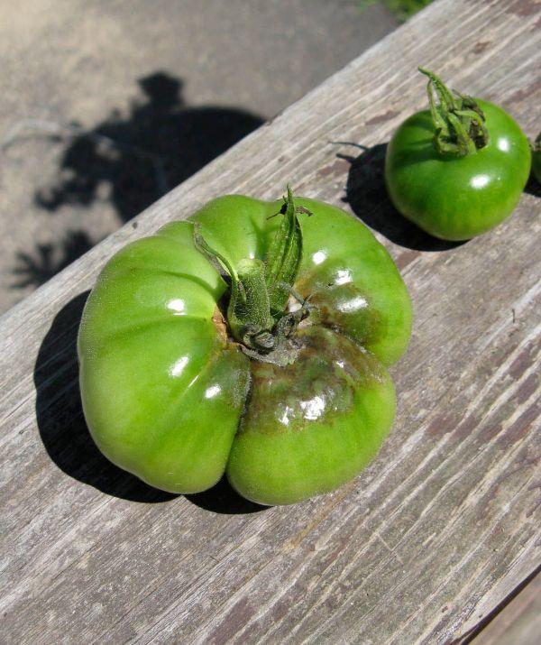 tomates attaquées par mildiou